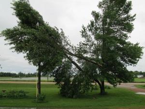 Aged Ash Tree Split in Half