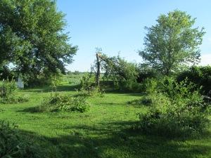 A fallen elm